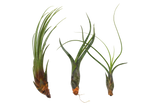 Air Plant 3 Pack / Size Large / 4 - 6 Inches