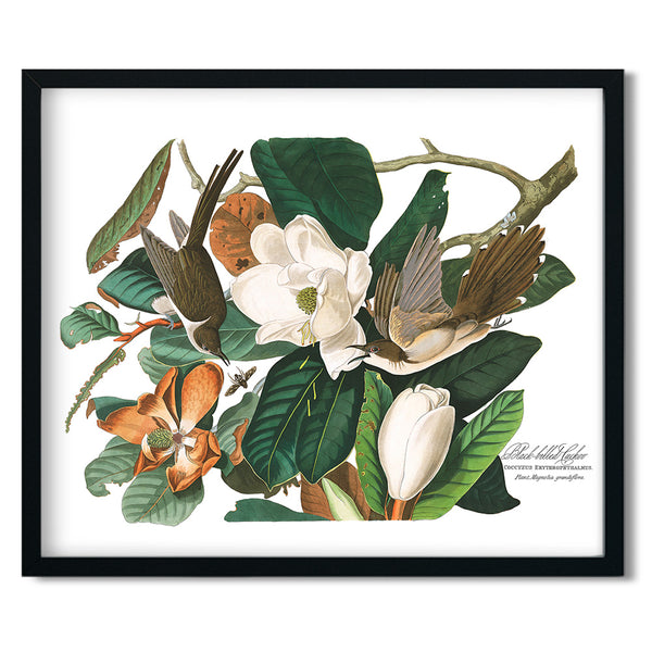 Audubon Black-Billed Cuckoo Vintage Art Print available at Viola Joyner Creative
