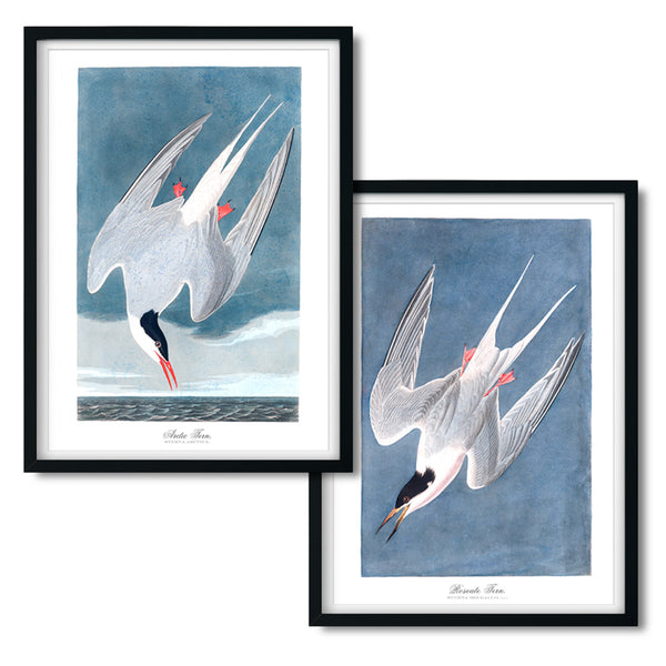 Audubon Arctic and Roseate Tern Art Print Set - Series No. 9