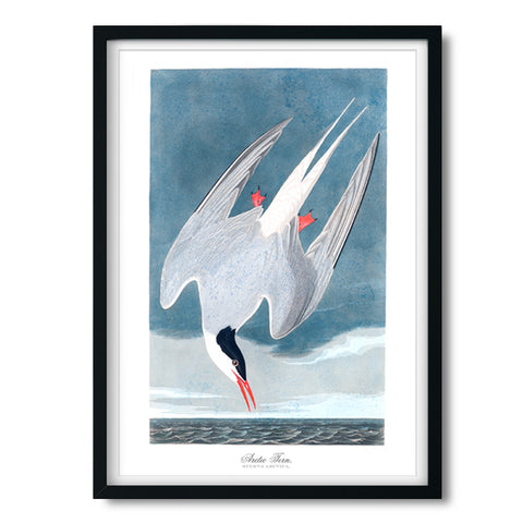Audubon Antique Arctic Tern Fine Art Print available at Viola Joyner Creative