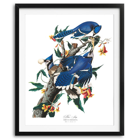 Vintage Audubon Blue Jays Art Print available at VJ Creative Lifestyle