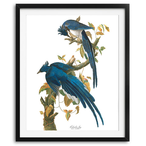 Columbia Blue Jay Birds Audubon Art Print