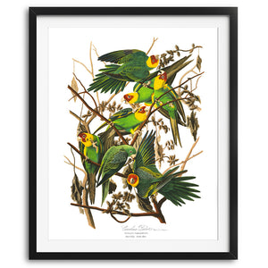 Audubon Green Parrots Art Print available at VJ Creative Lifestyle