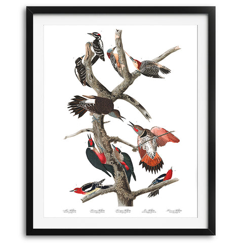 Woodpeckers Audubon Art Print available at VJ Creative Lifestyle