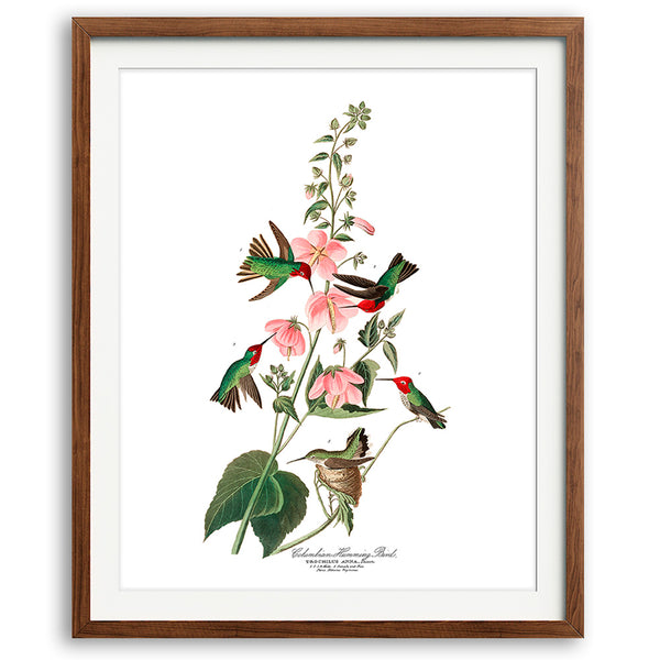 Vintage Audubon Hummingbirds Art Print - No. 01 available at VJ Creative Lifestyle