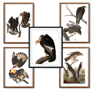 Audubon Vintage Bird Art Print - Set of 5 - Birds of Prey Art Prints