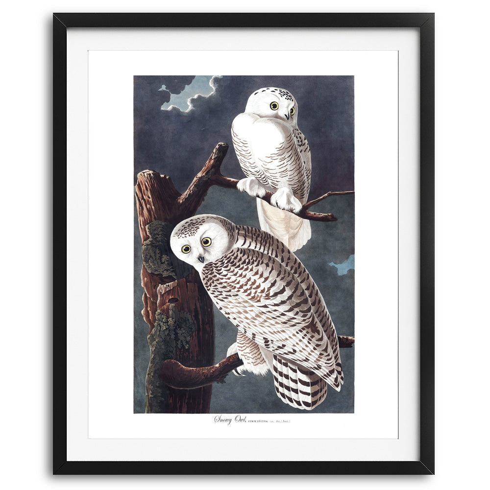White Snowy Owls Art Print available at VJ Creative Lifestyle