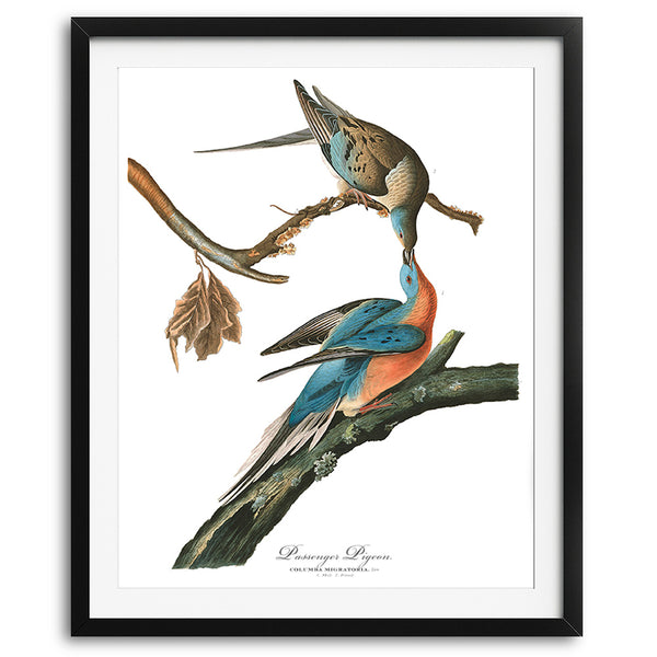 Audubon Vintage Passenger Pigeon Art Print available at VJ Creative Lifestyle
