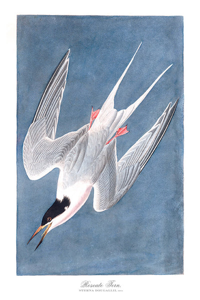 Audubon Roseate Tern Vintage Art Print available at Viola Joyner Creative