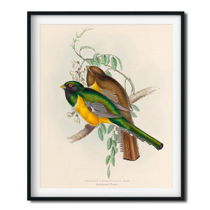 Vintage Bird Art Print - Black Throated Trogon