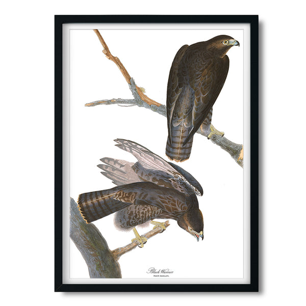 Vintage Audubon Black Warrior Hawk Art Print