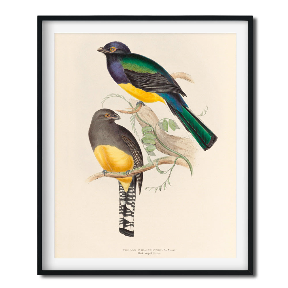 Vintage Bird Art Print - Black Winged Trogon