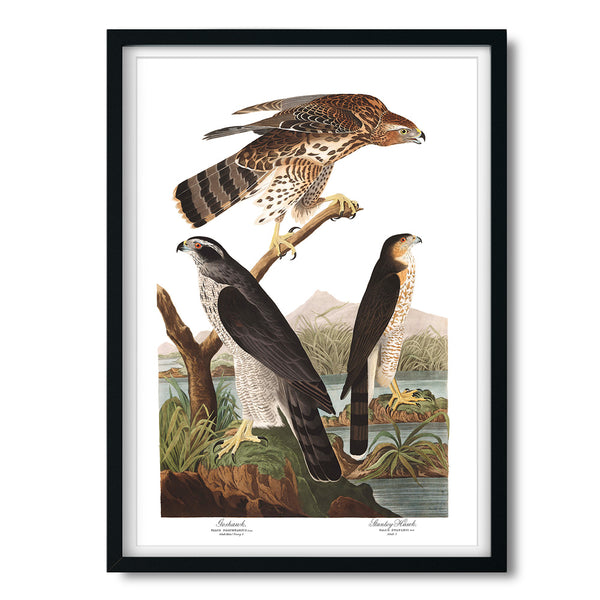 Vintage Audubon Goshawk and Stanley Hawk Art Print