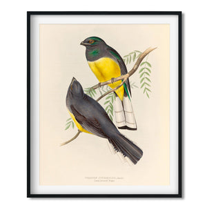 Vintage Bird Art Print - Lemon Breasted Trogon