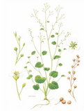 Crambe Abyssinica  flower illustration