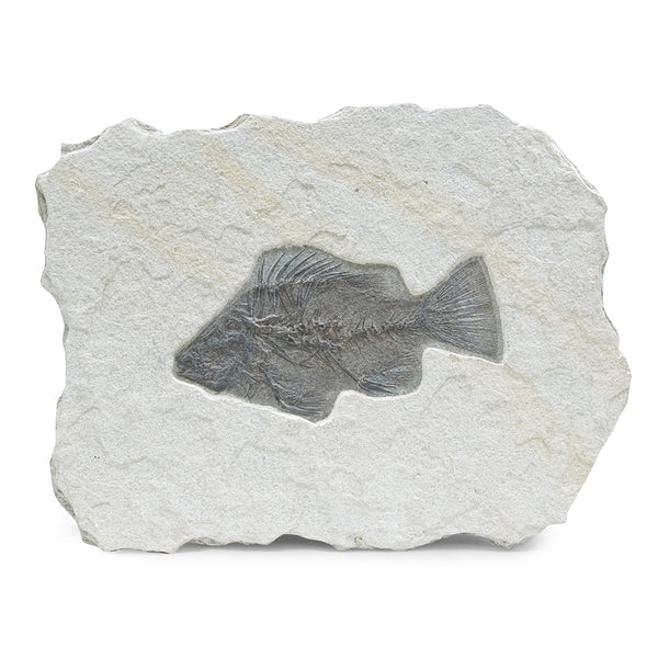 Fossil Fish Wyoming - USA - Blue John Gallery