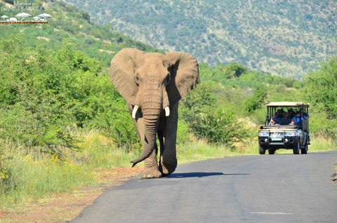 African Elephant at Pilanesberg National Park