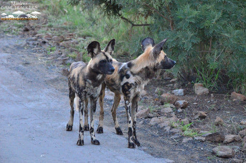African Wild Dog Pilanesberg National Park
