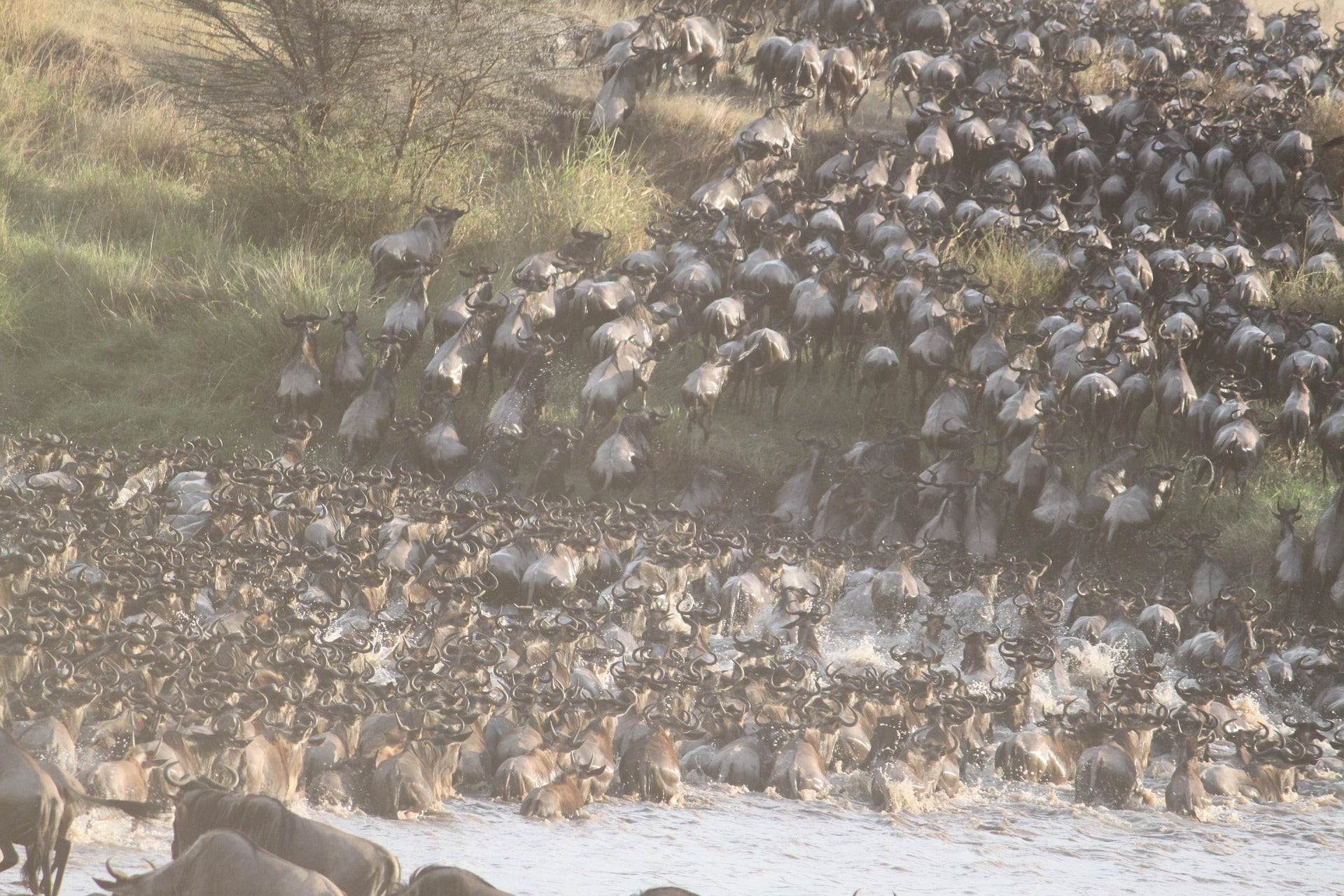 Widebeest Great Migration in Serengeti, Tanzania