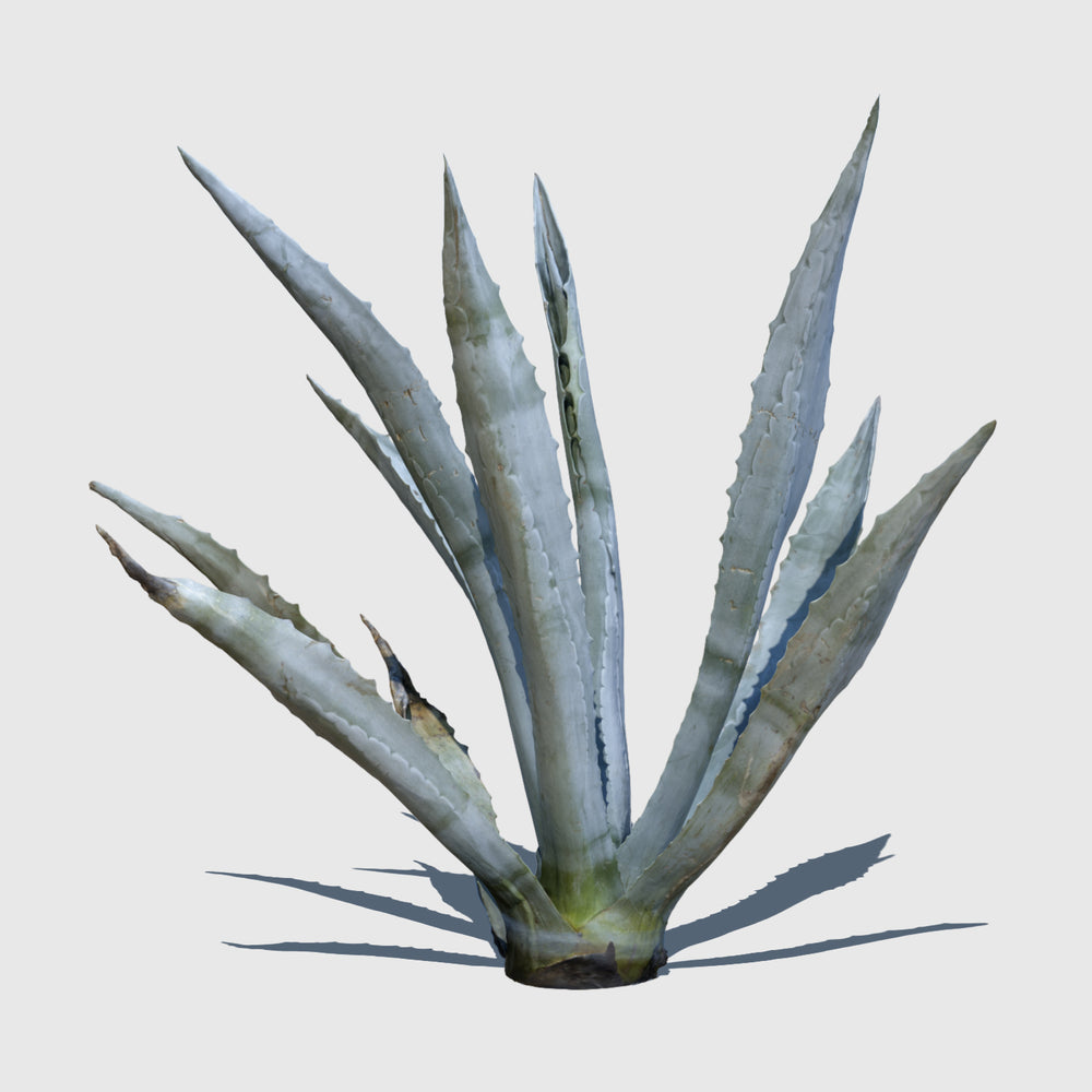 high resolution 3d render of an agave plant with texture applied