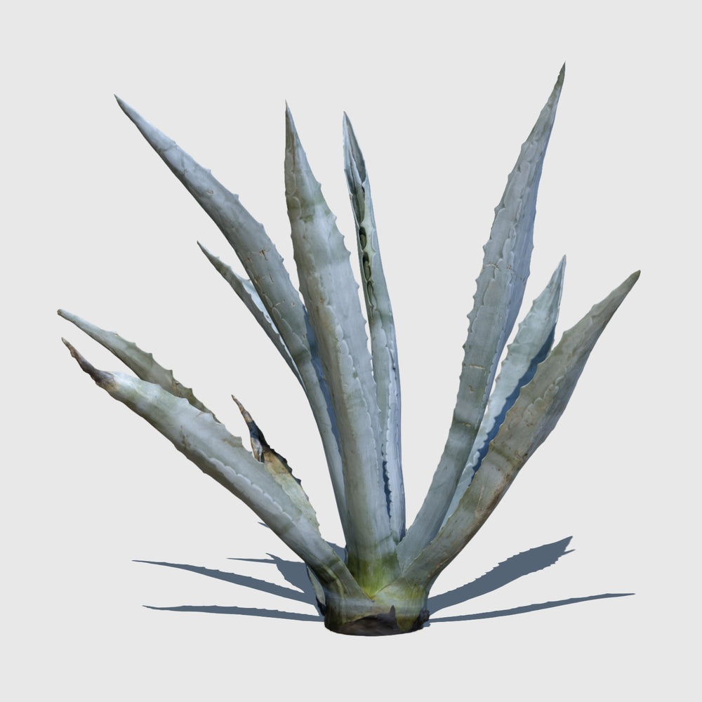 medium resolution 3d render of an agave plant with texture applied