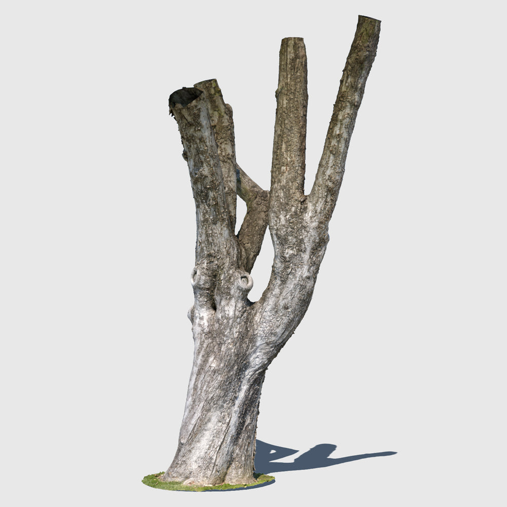 high resolution render of a textured model of a large leafless tree trunk