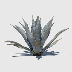 large cg Agave Americana plant rendered with high resolution texture