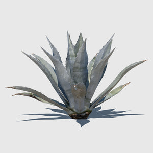large cg Agave Americana plant rendered with low resolution texture