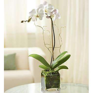 Elegant Orchid - White: Flowers- Shop MIXXCI