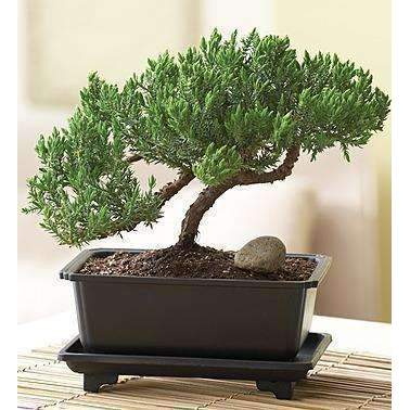 Juniper Bonsai: Flowers- Shop MIXXCI