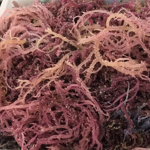 WHOLESALE - Purple Sea Moss - Wildcrafted (Raw) Sun-Dried Irish Moss - 1/4 lb (113g) (10 SETS)