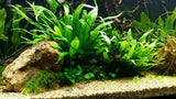 New Growth on a low light aquarium plant- Java Fern Shown