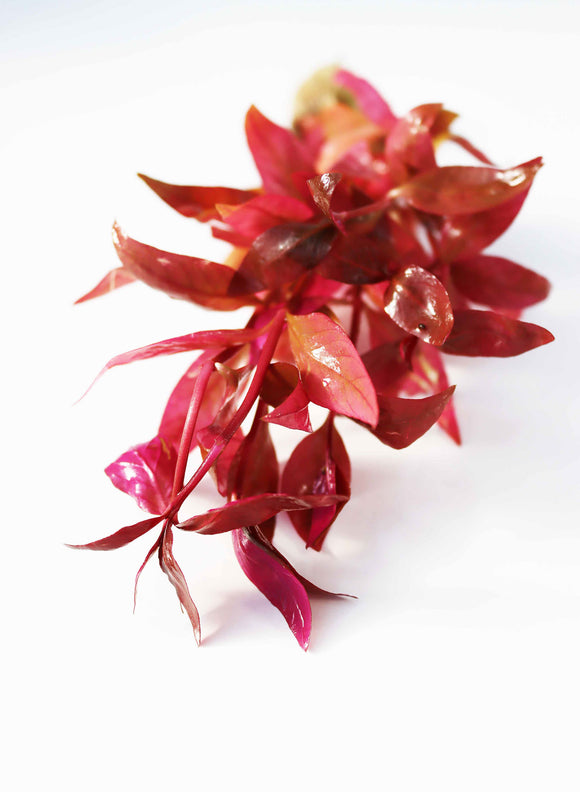 Alternanthera Lilacina (Purple version of our best seller!)