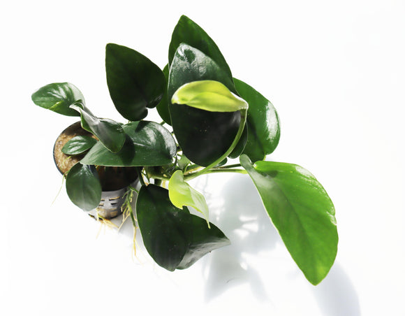 Anubias Nana (Our Best Selling Anubias Aquarium Plant)