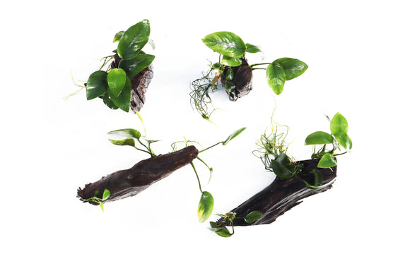 Anubias Nana Aquarium Plants on Driftwood (made in house!)