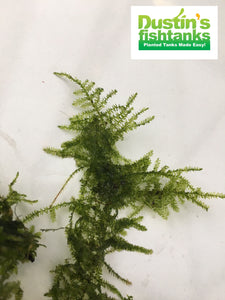 Christmas moss for sale close up
