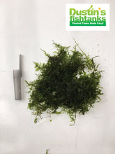 Christmas moss portion for sale on Dustins Fishtanks