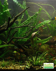 THIS IS MY TANK- NOT what you are getting...Crinum Natans in the back, Crinum Calamastratum on the far right
