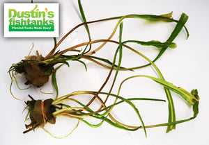 Cryptocoryne Spiralis for sale on Dustin's Fishtanks