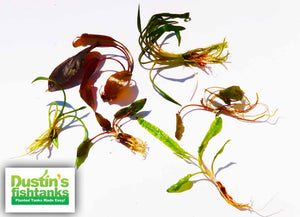Cyptocoryne Aquarium Plant Package for sale on Dustin's Fishtanks
