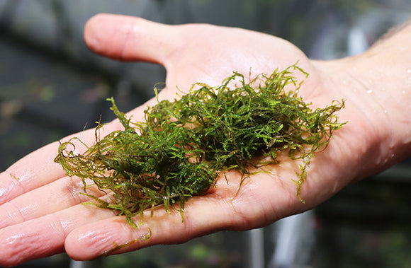 Flame Moss (Taxiphyllum Flame)