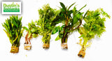 Hygro Row Aquarium Plant Package