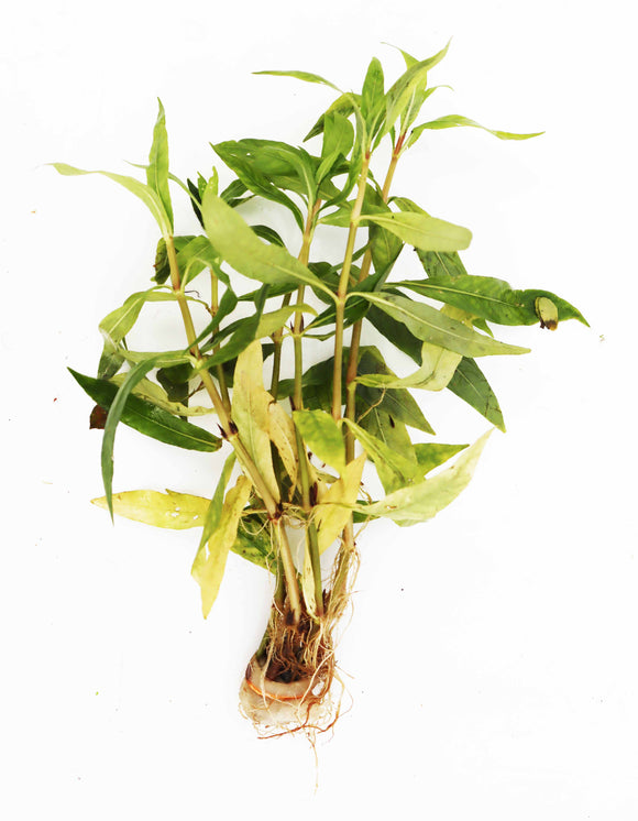 One Portion with 6 stems of this Awesome Hardy Aquarium Plant
