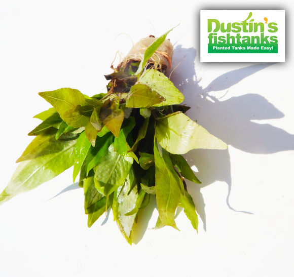 Hygrophila Compact for sale on Dustin's Fishtanks