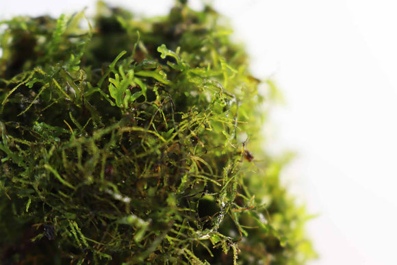 Riccardia sp (Pelia Moss AKA Easiest Moss we Sell)