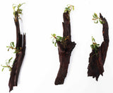 Buce Trees on Malayasian Driftwood