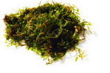 JAVA MOSS -SUPER EASY Low Light Aquarium Plant
