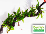 Java Fern (Reg)