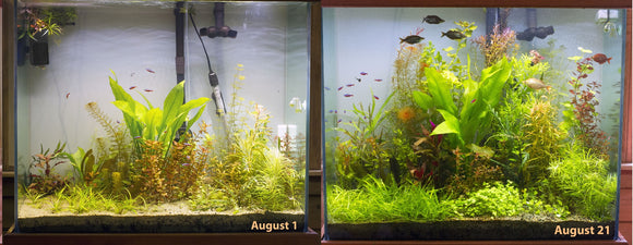 Wanted to show you how wonderful your light has been on my 75 g tall tank. Here's the before and after. The crazy part - I've only had your light on this tank for 3 weeks, and I've been trimming the plants like crazy during that time. I'm still wanting the background plants to grow in more, but give it another three weeks and this tank will look perfect.