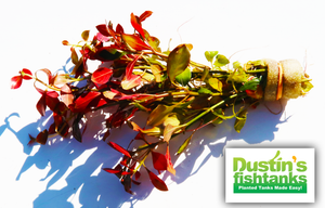 Ludwigia Repens for sale on Dustin's Fishtanks
